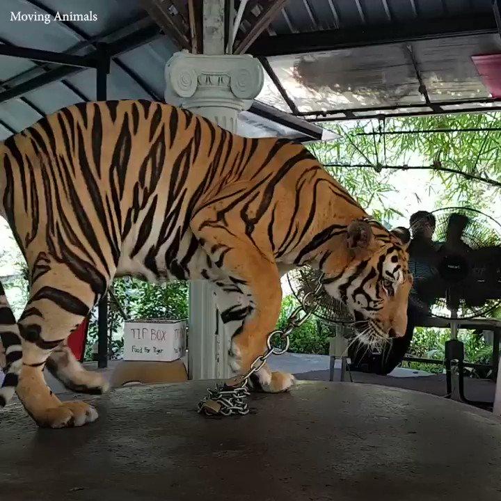 Tous les jours se ressemblent pour lui : l'ennui, la frustration - et finalement, la folie. 😠  RT si vous savez que les tigres devraient être laissés dans leur environnement, et non PAS attachés à une chaîne ou enfermés ! 😿