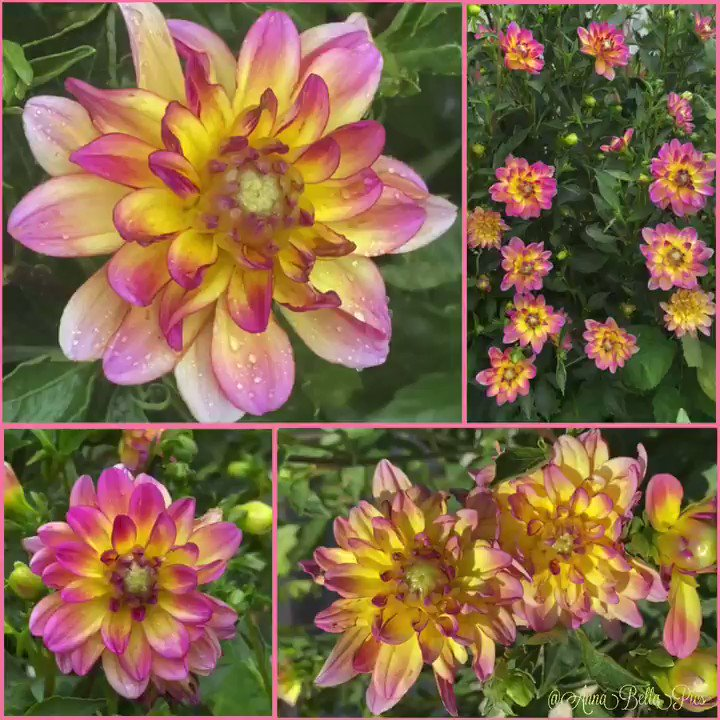 So many buds & now starting to burst with color, this carefree shrub-like decorative dahlia with shades of cheery yellows & rosy pinks is such a garden delight ... 'Pacific Ocean'🌸💛 #garden #Flowers #sundayvibes