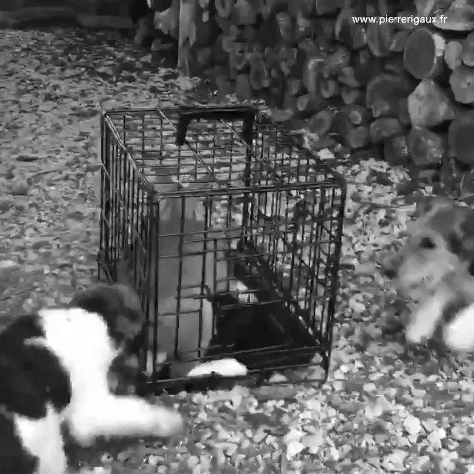 🔴 Des lapins terrorisés servent d'entraînement aux chiens de chasse. Pratique méconnue car cela se passe entre chasseurs, à l'abri des regards et des contrôles de l'administration. Merci à la personne qui m'a transmis ces images et qui souhaite rester anonyme.