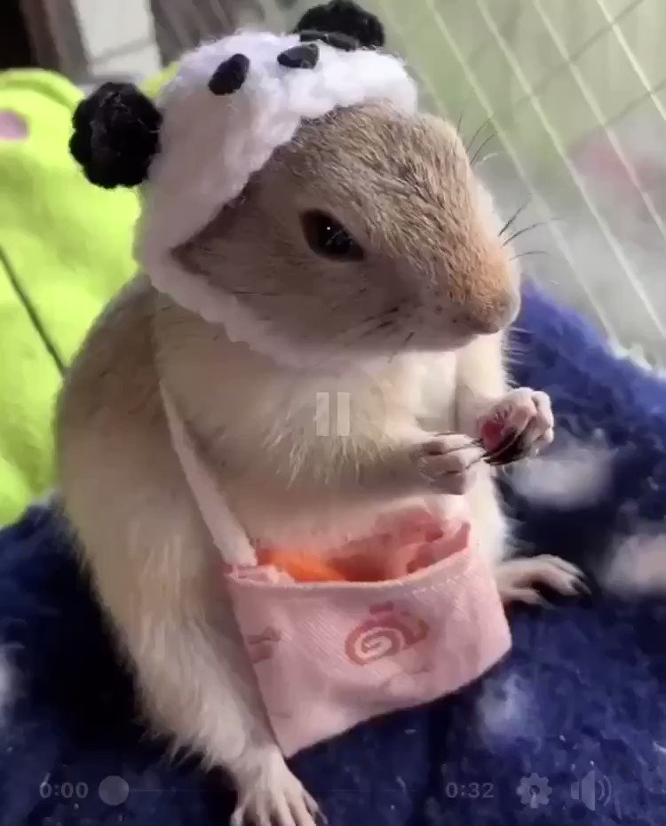 A hamster dressed up as a panda eating carrot sticks from its purse.