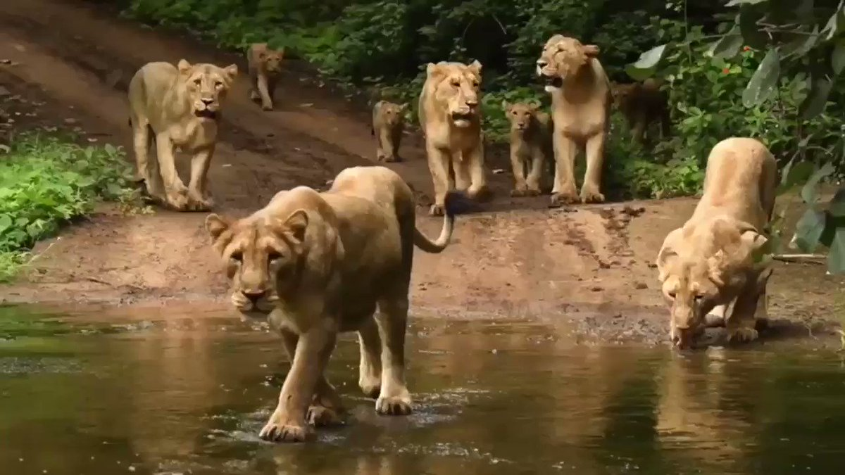 In NW India's Gir Forest, a pride of Asiatic Lions cross a stream @ParveenKaswan #Gir #Lions #Gujarat #India