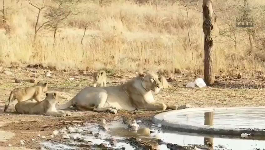 On #WorldLionDay2020 today, sharing this heartwarming video of #lion cubs playing around & over their mother. Delightful to watch one cub climb onto the mother's back and keep biting & licking her & finally rolls down. #wildlife @moefcc @GujForestDept @WWF @WWFINDIA @WildlifeSOS