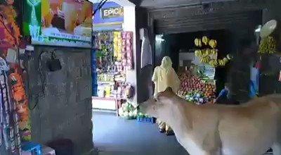 அயோத்தி பூமி புஜையை உன்னிப்பாக கவனிக்கும் இளங்கன்று.  #AyodhyaBhoomipoojan  #RamMandir  #RamMandirAyodhya