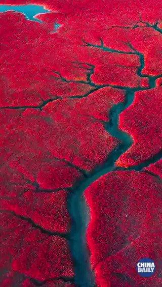 🍁💧 Más de 260 especies de aves se pueden observar en una hermosa #playa roja en la ciudad de Panjin, ubicada en la provincia de #Liaoning, al noreste de #China. Es una reserva natural famosa por un alga roja llamada suaeda. #BellezaChina #TurismoChina  📽️: @ChinaDaily