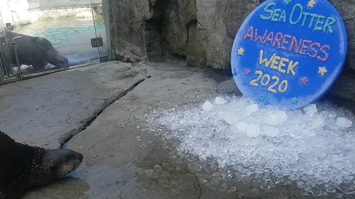 "We may be temporarily closed, but animal care never stops. Rachel (one of our marine mammal trainers) recently made some ""otterly delicious"" ice pops and an icy disk decorated with frozen clam paste in celebration of #SeaOtterAwarenessWeek."
