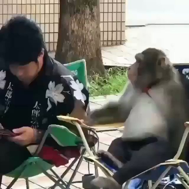 Video of a monkey using smartphone while sitting on a chair