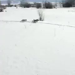 In 1995 fourteen wolves were released into Yellowstone National Park. Nobody expected the miracle that the wolves would bring. One of my all time faves. ♥️ https://t.co/CVq3oD0kGa
