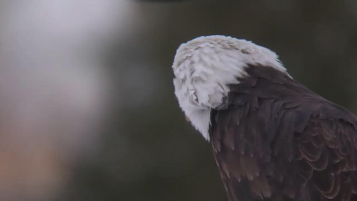 The bald eagle, our national bird, once faced extinction. #EarthDayEveryDay #EarthDay http://t.co/UNz6X7wjzR