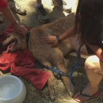 Because every life matters: Sacramento CERT members and SFD medics rescue a dog that has collapsed from heat. http://t.co/rZEgg114Sc