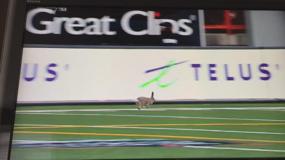 This cute little Bunny is having a great time at the #LDClassic @calstampeders @CFLonTSN #Stampeders http://t.co/y2oVNCgFba