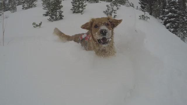 DUMP ALERT! We've picked up a foot of snow in the past 24 hours and our avalanche rescue dog Duke is loving it. https://t.co/5eix9GfCMc