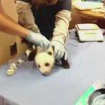 Siapa tak pernah dengar bunyi baby panda mcm mana ? Nah tgok ni. Comel je bunyi dia mcm suara budak2 ???????????????? https://t.co/hWO3OQWeXm