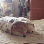 寒い日の柴犬の起こし方 https://t.co/bE0VsWbYOo https://t.co/xzjS9Itf1H