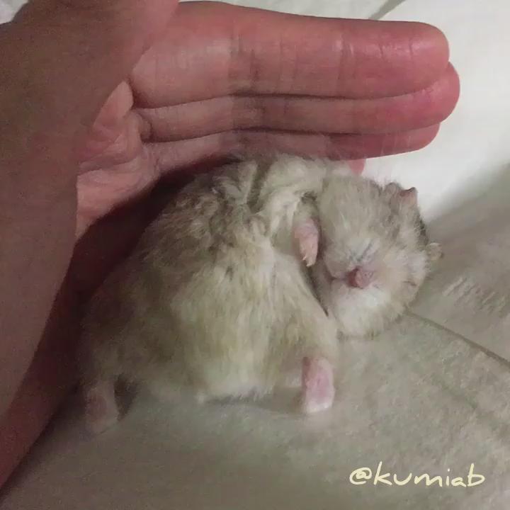 朝つぶやいたインスタのスクショがたくさんファボられてるので、「毛づくろいしてる途中で寝ちゃった小次郎の動画」ロングバージョン編集済みのやつ、置いときますね。  #ハムスター #hamster https://t.co/FPqs2y2sPd