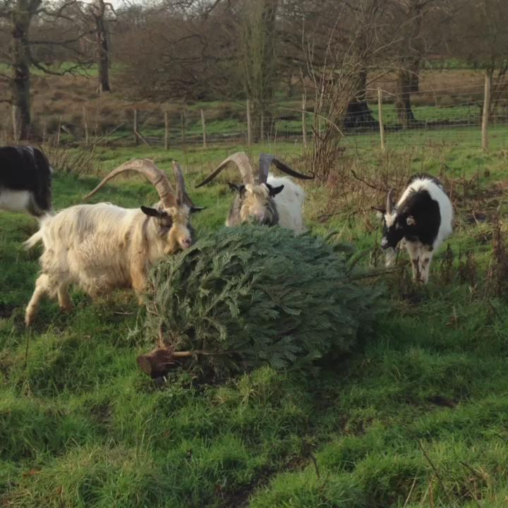 Un-sold Xmas trees providing winter feed for our goats! #James #goats #conservationgrazing https://t.co/rzqAZaXrag