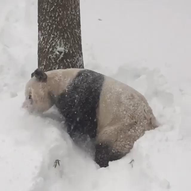 Tian Tian at the National Zoo woke up this morning to a lot of snow and is excited about it.