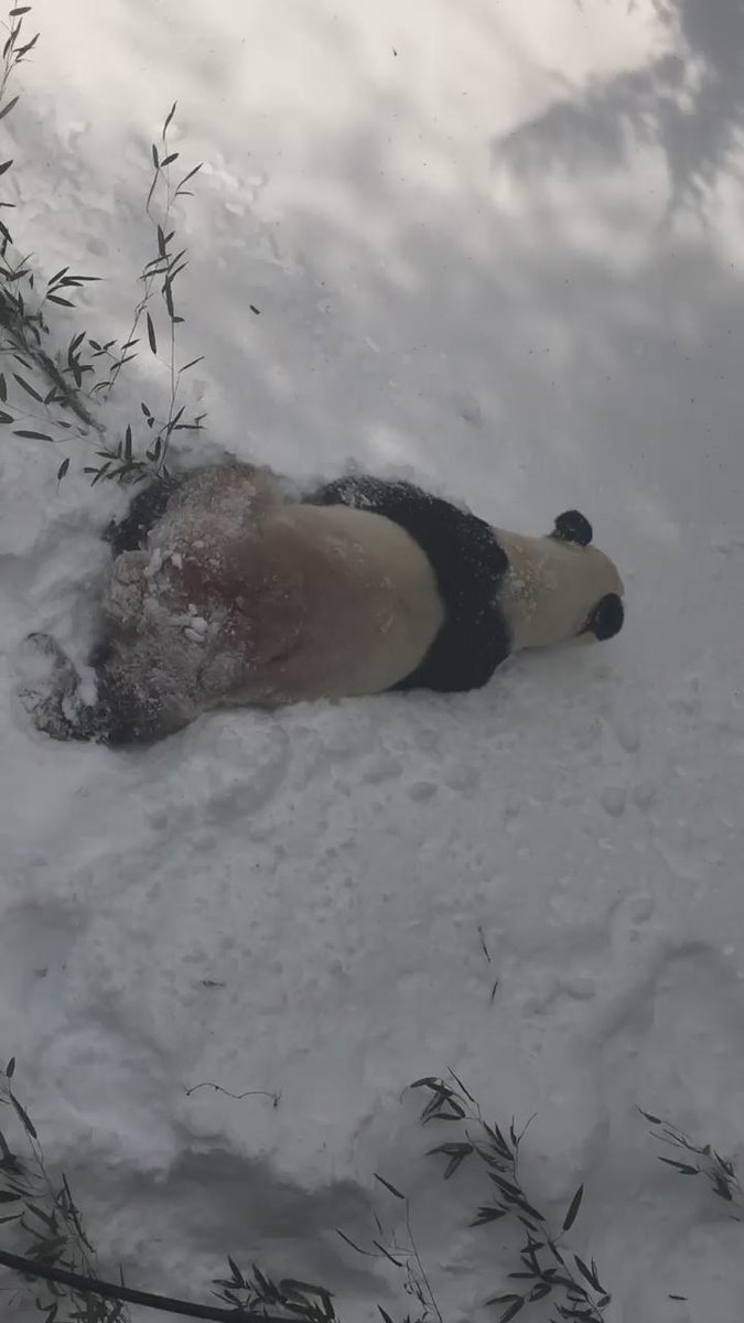 BREAKING: Tian Tian is still rolling in the snow #DCDigOut https://t.co/LAdrNvHRqg