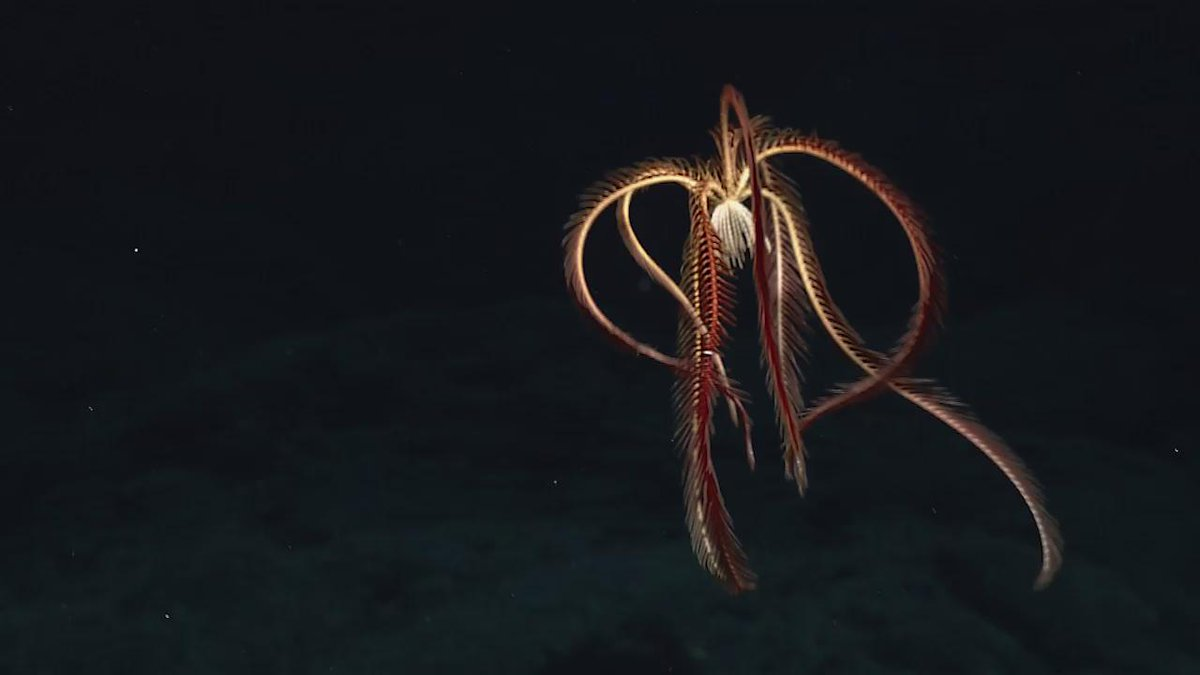 Bizarre and beautiful deep sea life off the coast of Hawaii recorded by #NOAA ROV cameras: https://t.co/E7xWw1LNey https://t.co/sWOdRoHMaC