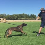Police Dog Ghost in action !! #CantOutRun https://t.co/w77MAdZ6pk