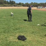 Quokkas first day of @WA_Police  dog training. The 2 y/o lab is a drug detection dog. @7NewsPerth https://t.co/COkzOapyaL