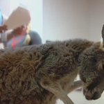 This is Charlie. Hes a baby kangaroo. He helps comfort U.S. veterans in Salt Lake City. #therapyanimal https://t.co/OWi8HEHb1f
