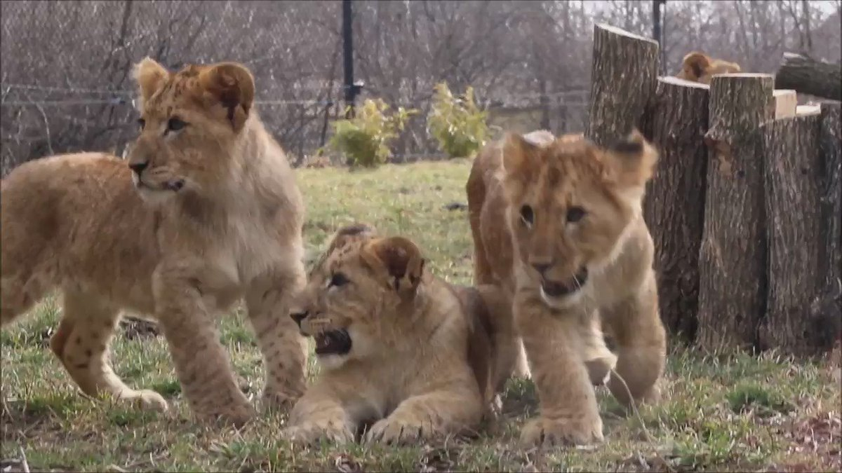 Watch our lion cubs exploring their exhibit for the 1st time today! Weather permitting they'll be out on warm days. https://t.co/SSu9hdXgax