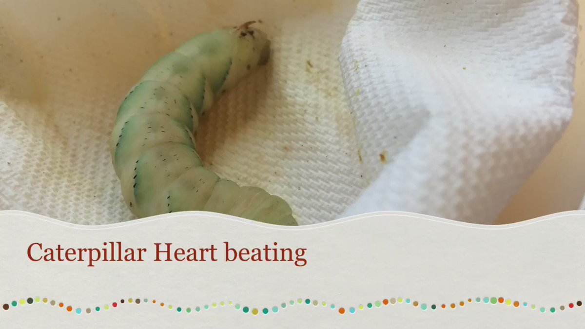 Here is another view of the cool caterpillar beating heart video I posted yesterday. https://t.co/0mgnXi58NK
