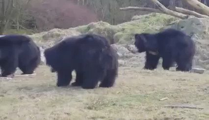 Look at these adorable bears play with a balloon. LOOK AT THEM! https://t.co/6GhRvXAnzD