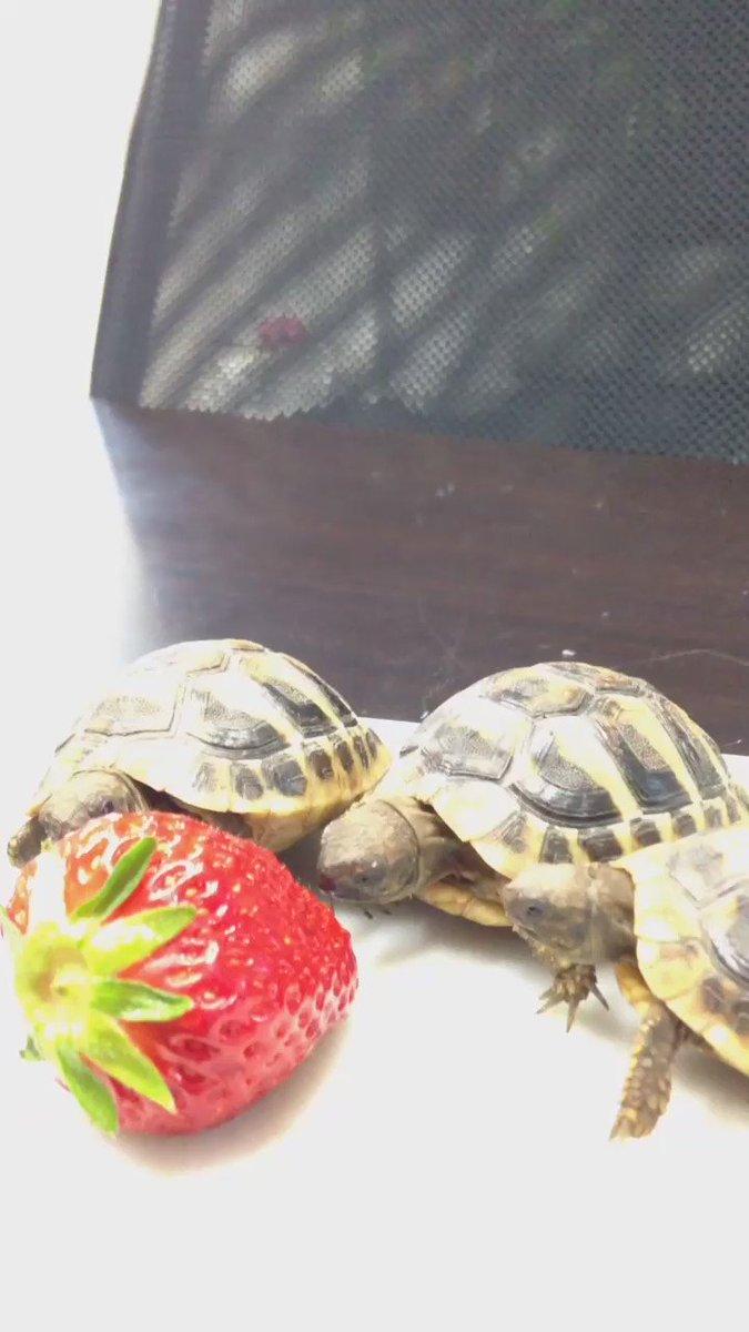 イチゴを食べる子亀たち https://t.co/K52Uj9NBOu