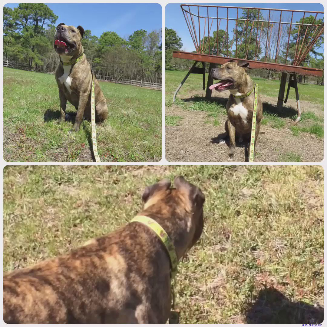 #adopt Tyson. Contact @PittiesandPals at pittiesandpalsrescue@yahoo.com for application. #nj #dog https://t.co/4cvos3gXzY