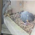@BBCSheffield @peregrines2016 changing shifts https://t.co/vYHeDz5cRs