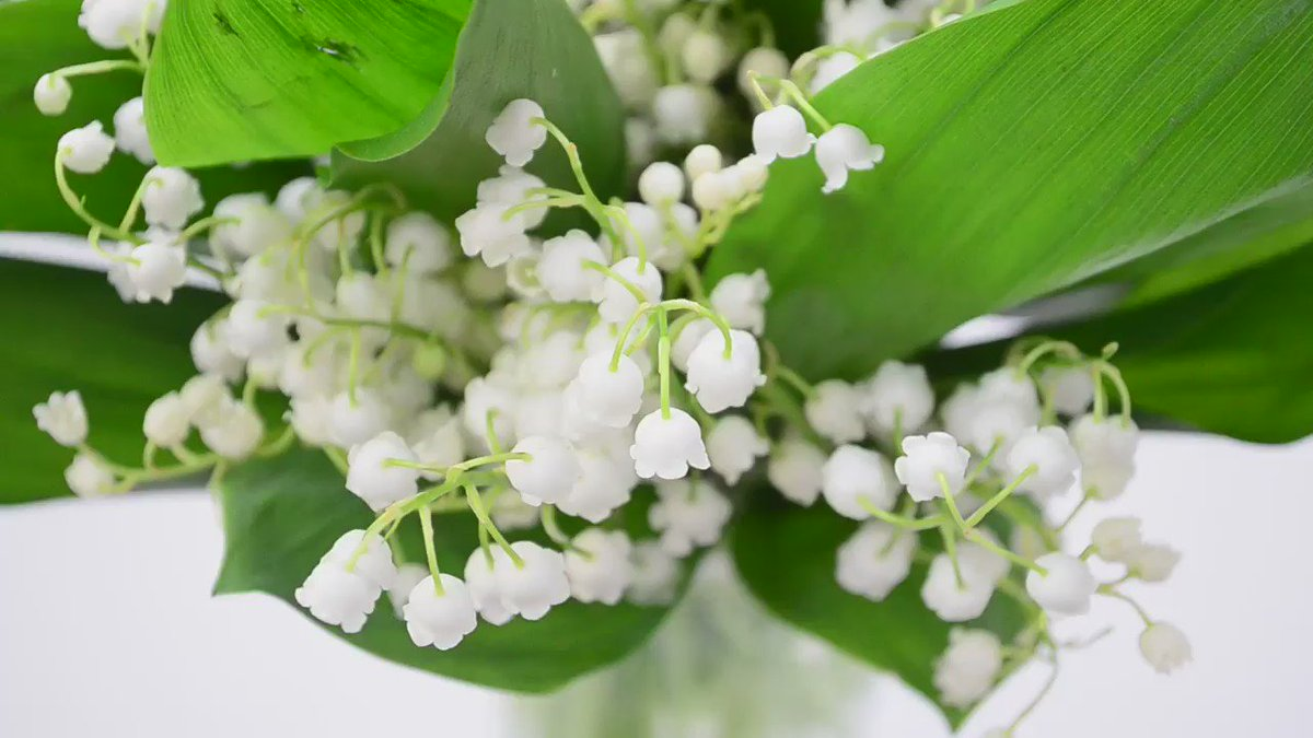 It's tradition on #MayDay in France to give a sprig of 'Lily-of-the-Valley' to friends. RT to spread the luck! https://t.co/UPnzZwLuBZ