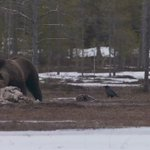 Piilokojut ovat luontomatkailijoiden suosiossa. Katso karhuja #HSTV videolta: https://t.co/bIbmfhK2hN #matkailu #HS https://t.co/t2IR1KshVV