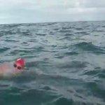 تقوم الدلافين بحماية البشر عندما يقعون في ورطة. حاصرت الدلافين هذا الشخص لحمايته من سمك القرش حتى وصوله للشاطئ! https://t.co/uCzt5U7fwB