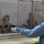 تجربة علمية على قرود:  اذا اعاد القرد الحصى فجائزة القرد الأول خيار والثاني عنب... هذا ما حدث عندما احس الأول بالظلم https://t.co/xBfmICNSgO