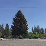 #ALERT - great video! Check out the pollen shooting out of this falling tree at #Spokanes Summit Church! @KREM2 https://t.co/JUVz652mO7
