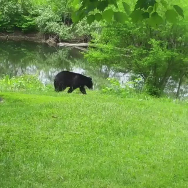 The @CityofNewarkDE sent us this awesome video of the #delabear    @NBCPhiladelphia #animals https://t.co/ApG3rDGkzI