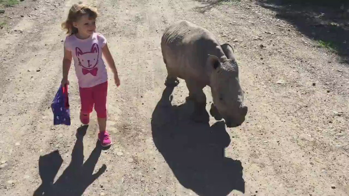 Watch amazing video of a young girl taking a walk with our endangered southern white rhino, Ringo #RingoTheRhino https://t.co/9VrG2LVFsu