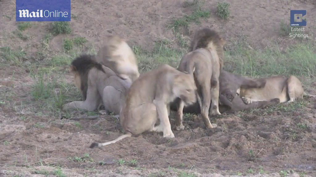 Buffalo escapes death after lions fight EACH OTHER over who gets to eat first https://t.co/BLdjo1FRyn https://t.co/i2d6W2T3JT