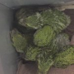 The youngest hand-reared #kakapo chicks are getting pretty lively. #conservation #endangeredspecies https://t.co/xTnyNAzG4C