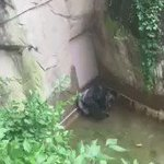 WOW! Gorilla grabs 4-Year Old child whos fallen into enclosure at Cincinnati Zoo. https://t.co/6CqByg3HvM