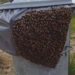Duizenden #bijen op prullenbak in de duinen naBIJ ##bloemendaal wachtend op de #imker en een nieuwe behuizing #bees https://t.co/hF9pclA4jp