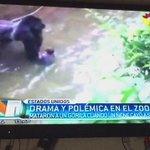 """""""El gorila se había puesto violento según los cuidadores""""Veo más cuidado con el nene en ese gorila que en los padres https://t.co/K9Q11OZOqZ"""