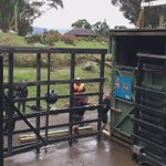 After a long journey, Zuri leaps into her new home at @WellingtonZoo #giraffeonthemove https://t.co/YbdUnFl3ym