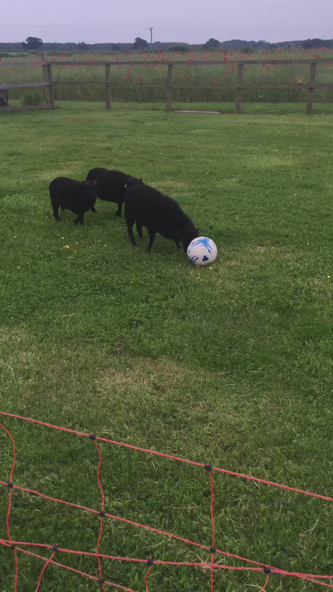 Here are some lambs playing football, because this is what we all need to see at the moment... https://t.co/mJpqlqHTlY