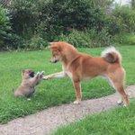 「まぁ、ちょっとおちつきなさい。おちついて」  元気良すぎる子犬を、なんとか落ち着かせようとする柴犬のおとうさん。  人間の親子を見てるみたいだよ。  https://t.co/dzFXdpHQbK https://t.co/gWSCR3sKFA