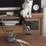 うちの猫が以前から大好きなネズミを綺麗に洗濯して机に置いておいたら、匂いが消えたからなのか何なのか、絵に描いたよにわかりやすく困惑している。  https://t.co/Ntek4FJbnZ https://t.co/RuKBQH7Ok8
