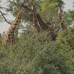 #SaturdayVibes in Murchison Falls National Park: giraffes chillin, sharing some love. ❤😊 #Uganda #KoiKoiUG https://t.co/BfYmDBihGU