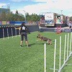Such smart dogs! @CanineStars @KDaysyeg #KDAYS 🐕 https://t.co/icdnC8KVSo