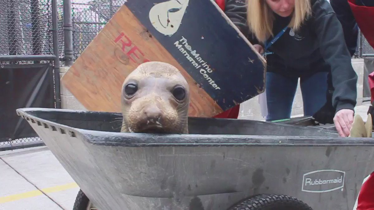 Seal pup Oscar DiCaprio goes home! Named after @LeoDiCaprio for his amazing work in ocean conservation https://t.co/rAtlitx8GH